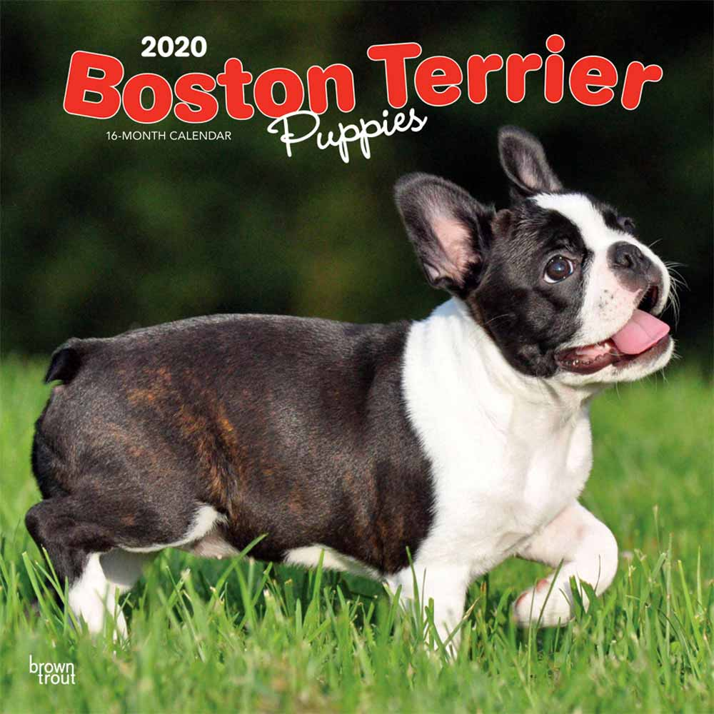 2020 Boston Terrier Puppies Calendar