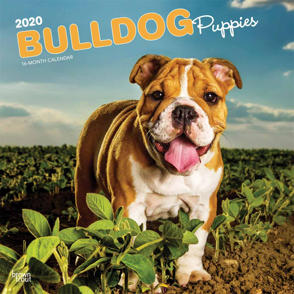 2020 Bulldog Puppies Calendar