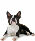 Boston Terrier Gifts