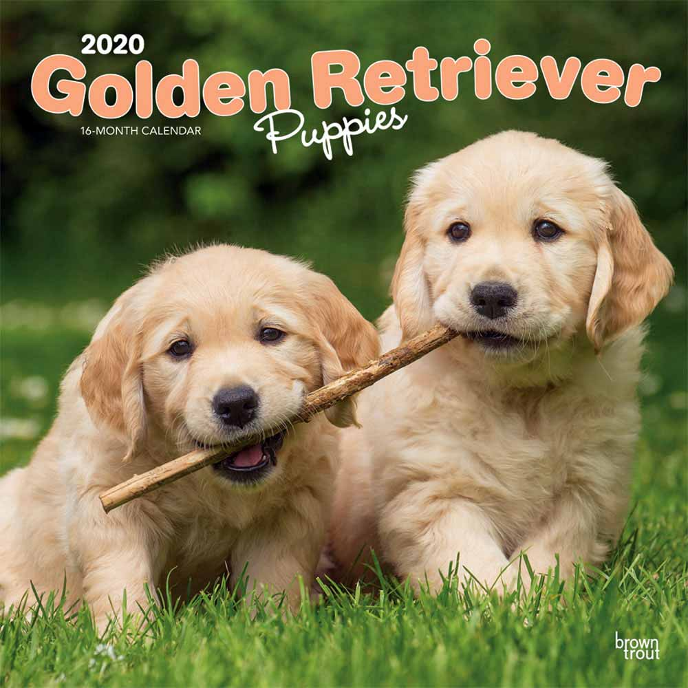 2020 Golden Retriever Puppies Calendar