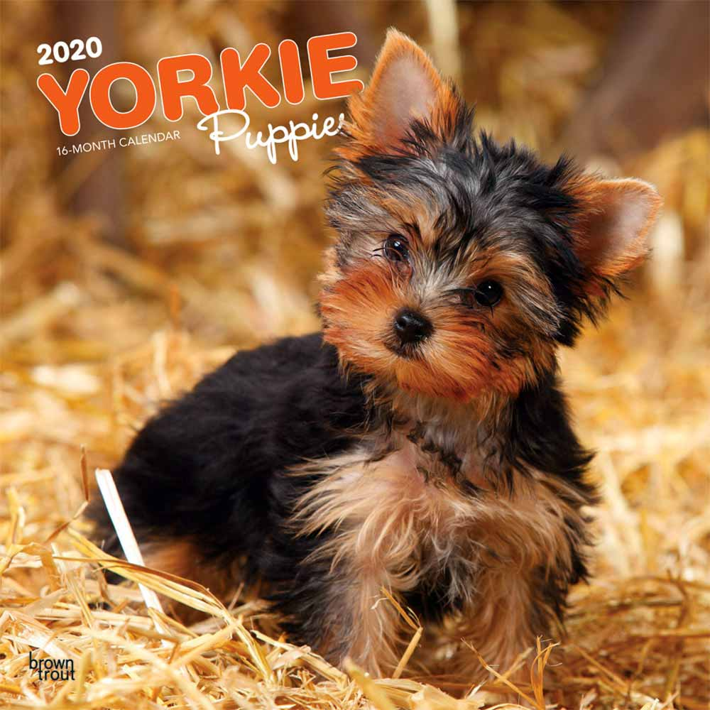 2020 Yorkshire Terrier Puppies Calendar