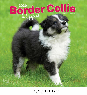 2020 Border Collie Puppies Calendar