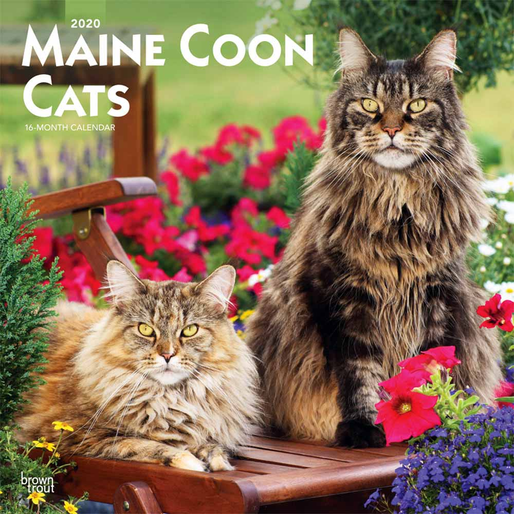 2020 Maine Coon Cats Calendar