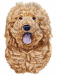 Goldendoodle Decal Window Sticker