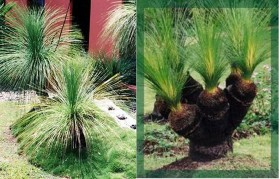 Xanthorrhoea johnsonii Seedlings