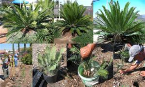 Achieve Better Results Growing Cycads in Field and Garden, By Maurice Levin, Jurassic Garden