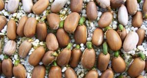 Cycad Seeds and Sprouts