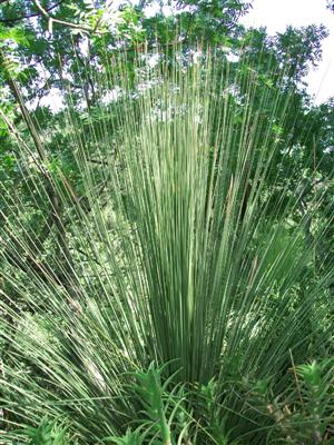 Dasylirion Plants - Mexican Grass Tree