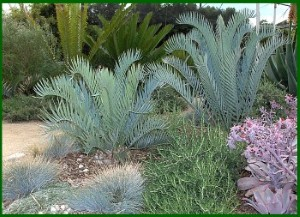 Cycad Links