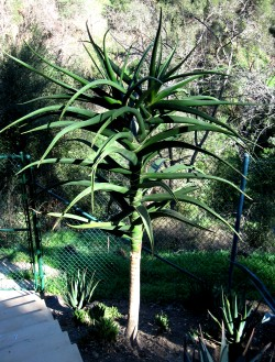 Aloe bainesii | Aloe barberae<br>Extra Large 15 Gallon Plants