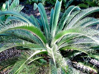 Rare cycads and other drought resistant plants that love Plants that love sun and heat