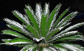 Cold-Tolerant: Cycads & Other Plants