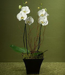 Double Classic White Orchids