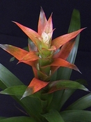 Orange Bromeliad Apache plant