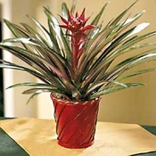 Candy Cane Bromelaid Plant - Designs East Florist Dallas