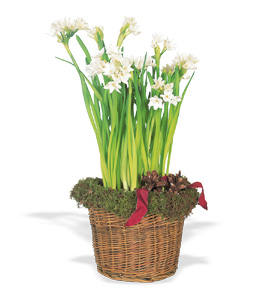 Christmas Paperwhite Narcissus - Designs East Florist Dallas