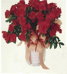 Azalea blooming plant - Designs East Florist Dallas