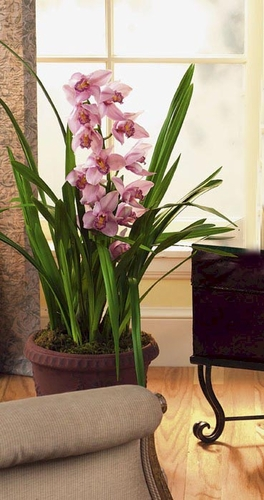 Cymbidium Orchid plant - Designs East Florist Dallas