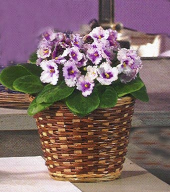 3 Violet  Flowering Plants - Designs East Florist Dallas