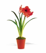 Amaryllis Plant - Designs East Florist Dallas