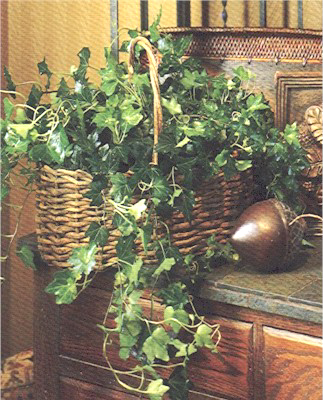 Double Ivy Plants - Designs East Florist Dallas