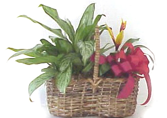 Tropical & Chinese Evergreen Plant - Designs East Florist Dallas