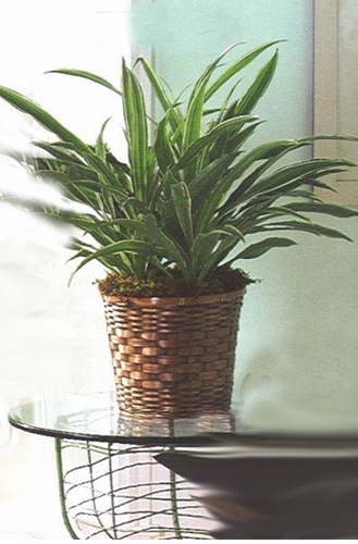 Dracaena Warneckii Plant - Designs East Florist Dallas