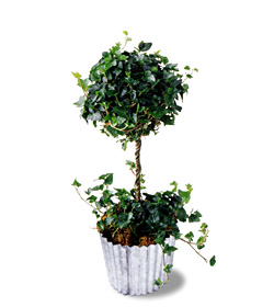 Ivy Topiary - Designs East Florist Dallas