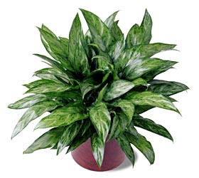 Chinese Evergreen plant - Designs East Florist Dallas