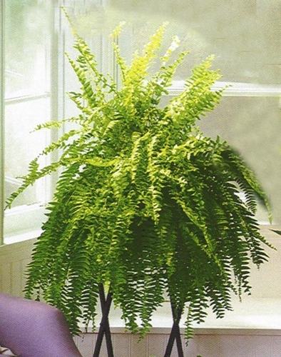 Boston Fern Plant - Designs East Florist Dallas