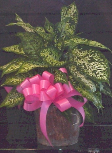 Diffenbachia plant. - Designs East Florist Dallas