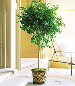 Ficus Tree - Designs East Florist Dallas