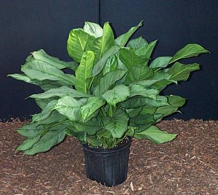 10 Inches Pot Chinese Evergreen Plant  - Designs East Florist Dallas