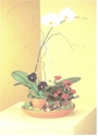 phalaenopsis orchid dish garden - by Designs East Florist Dallas