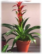 Bromeliad Plants- Designs East Florist Dallas