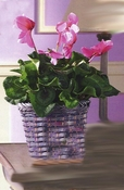 Cyclamen Flowering Plant - Designs East Florist Dallas