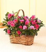 Double Azalea in Wicker Basket - Designs East Florist Dallas