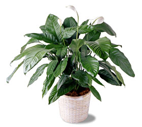 "8"" Peace Lily Plant - Designs East Florist Dallas"