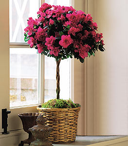 Azalea Topiary - Designs East Florist Dallas
