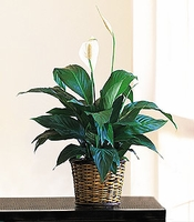 Peace Lily Plant 8""