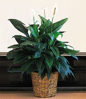 Large peace lily Plant 10""