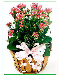 KALANCHOE'S DREAM