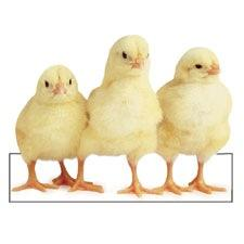 Row of Chicks Magnet