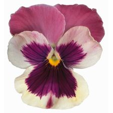 Pink & White Pansy Magnet