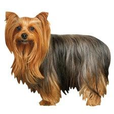 Long Haired Yorkie Magnet