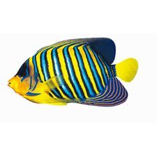Regal Angelfish Magnet