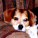 buy discount  Christy's Dog Chief (Beagle)