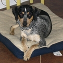 buy discount  Eric's Dog Bob (Catahoula)