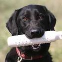 buy discount  Roxy  (Labrador Retriever)