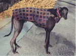 Greyhound Plum Jazz Overcoat